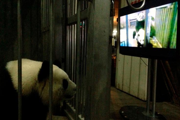 Handout still image of a female giant panda Ke Lin watching a panda mating video at Chengdu Research Base of Giant Panda Breeding