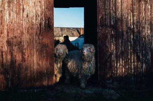 Un guidon et des moutons : cent kilomètres à vélo pour découvrir le travail de la laine