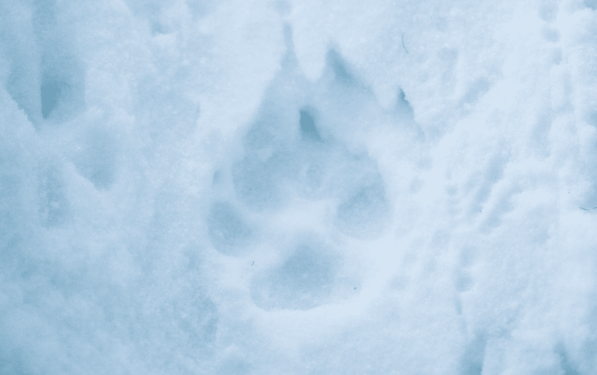 Jéremie Villet Photographe animalier loup Alaska Les Baladeurs